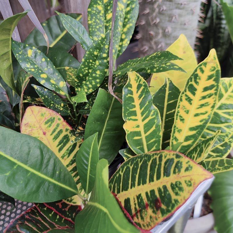 """Croton Asst 3.5"""""""