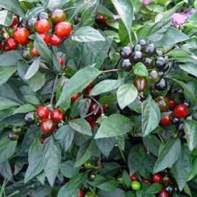 "Ornamental Pepper Black Pearl 4.5"""