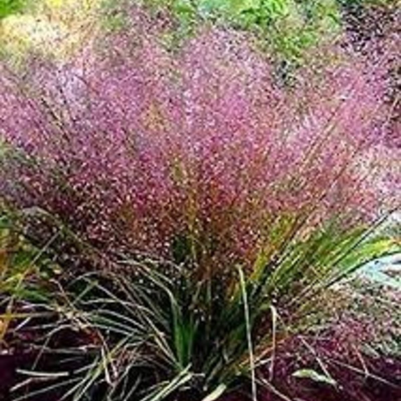 Eragrostis spectabilis Love Grass 1