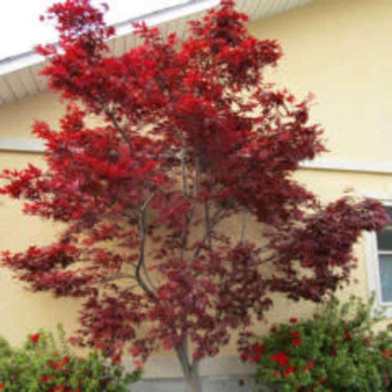 Acer palmatum Emperor 5