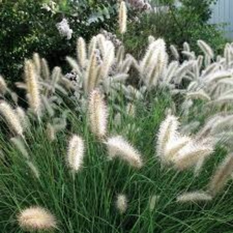 Pennisetum Cassian Grass 1