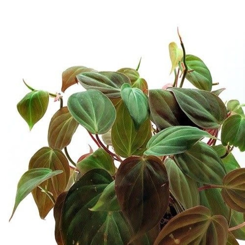 """Philodendron Micans 6"""""""