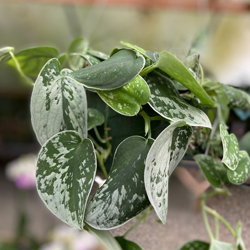 """Philodendron Silvery Ann 6"""""""