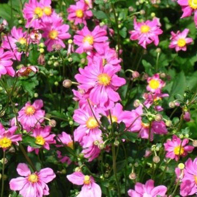 Anemone September Charm 1
