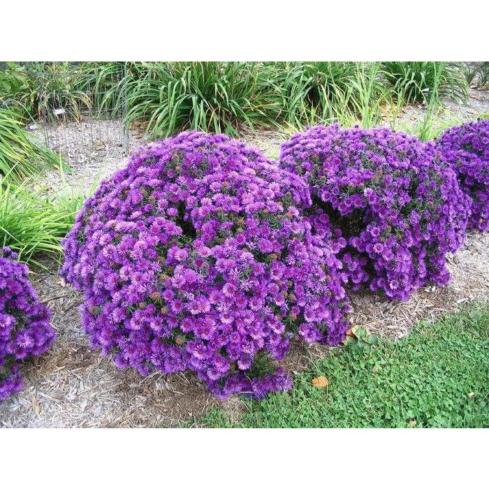 Aster Purple Dome 1