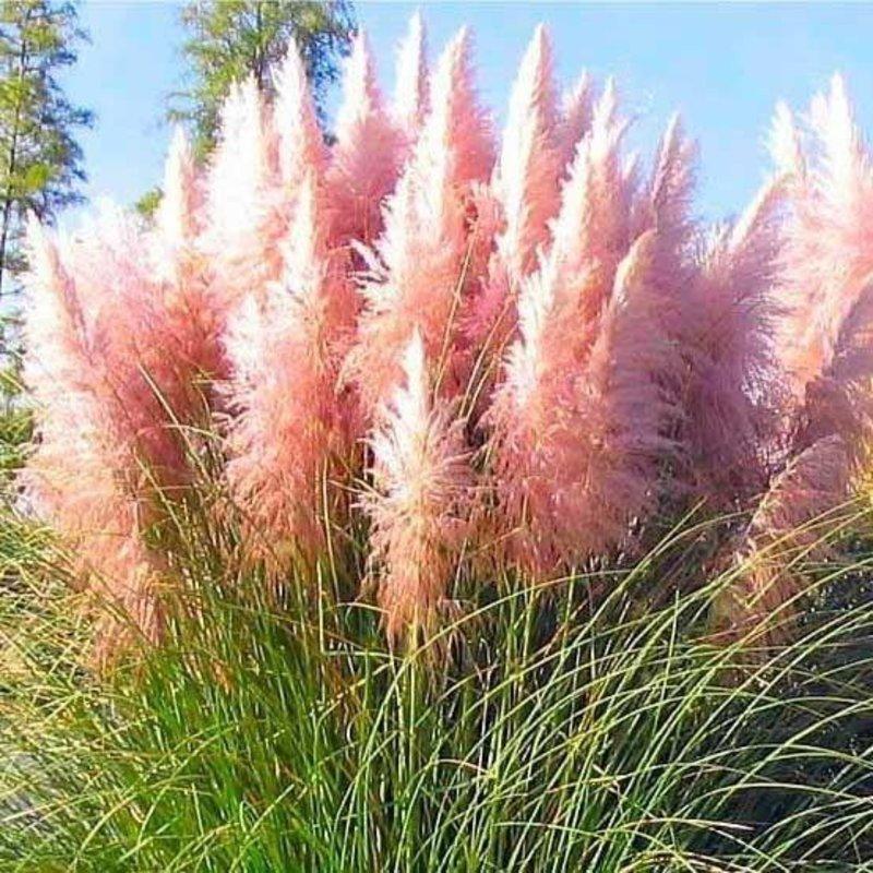 Cortaderia Pink Pampas 3