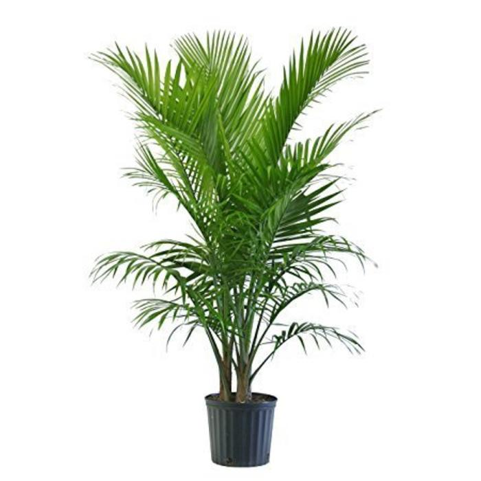 Palm Majesty 10""
