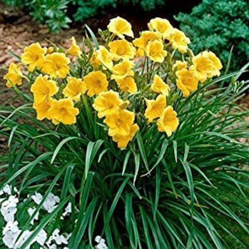 Hemerocallis Stella d'Oro Daylily 1