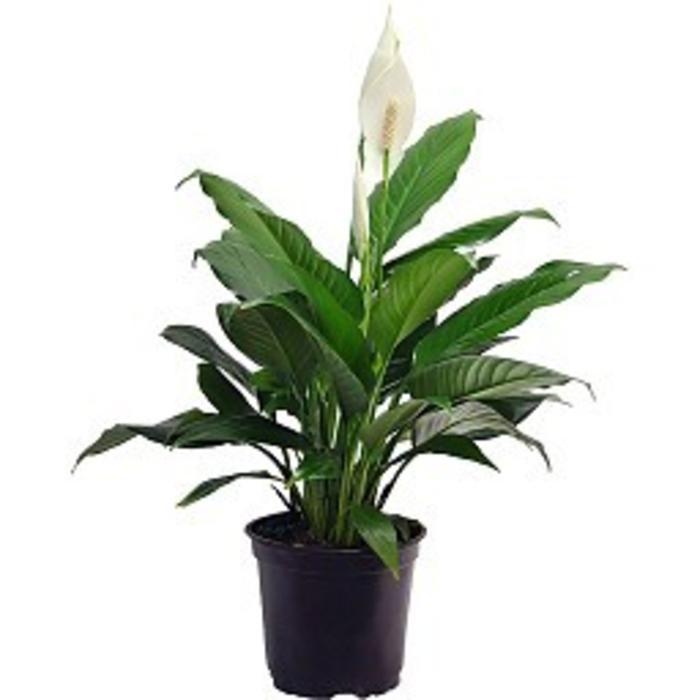 """Spathiphyllum 8"""""""