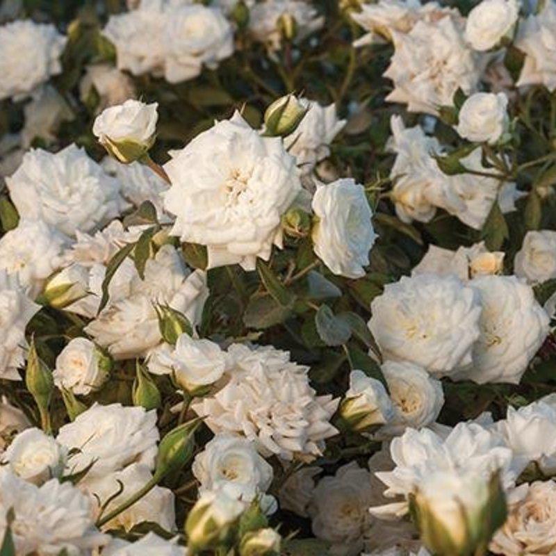 Rose Drift White 3