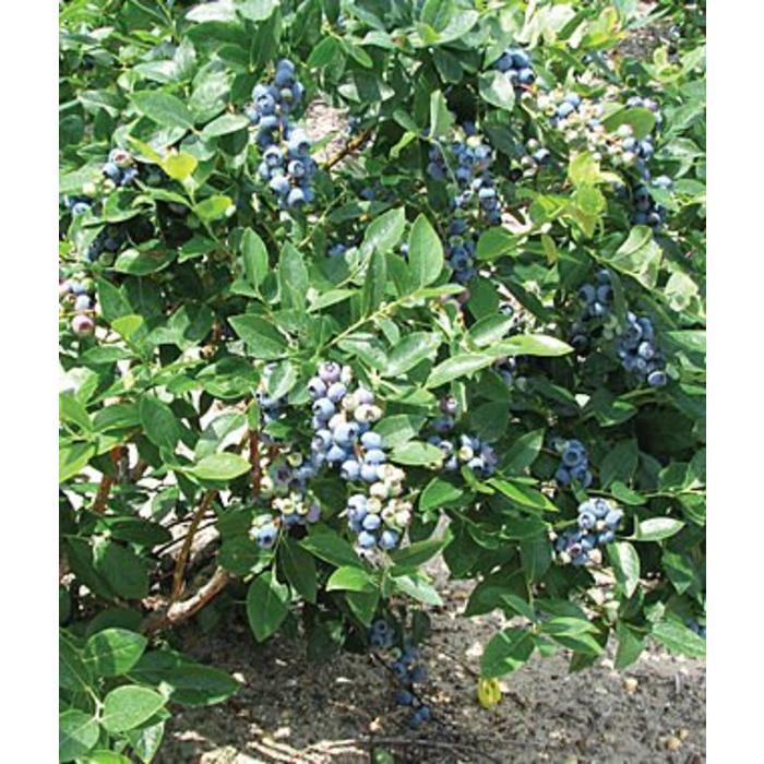 Blueberry Duke 3