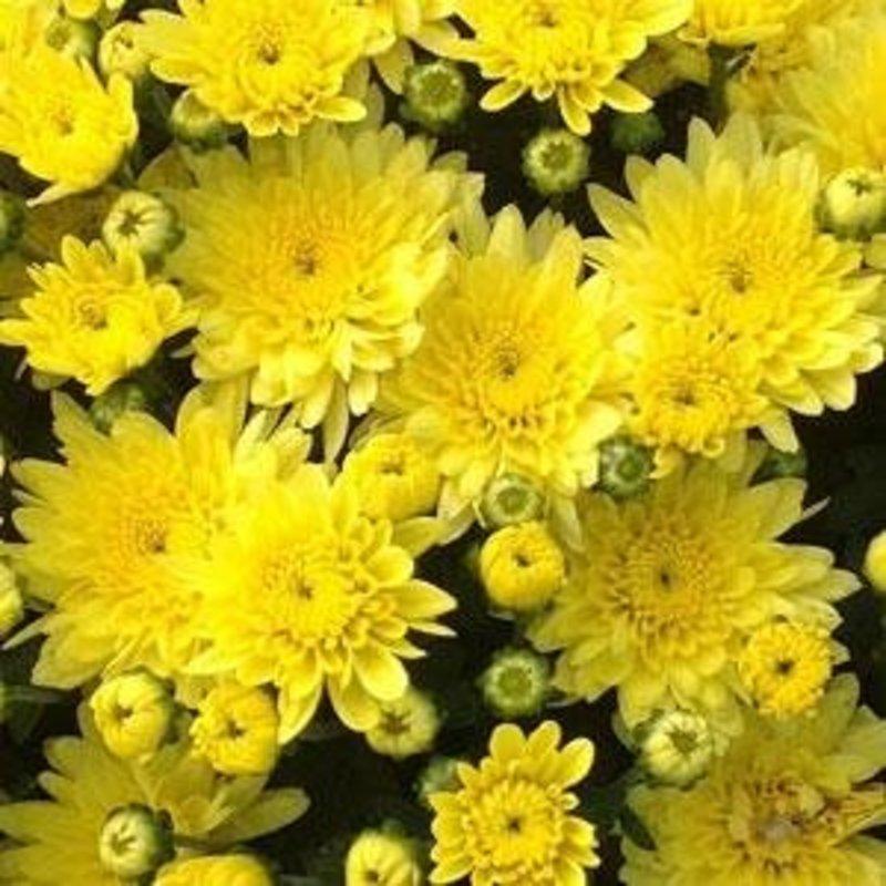 """Mum 12"""" Yellow/ Gold"""