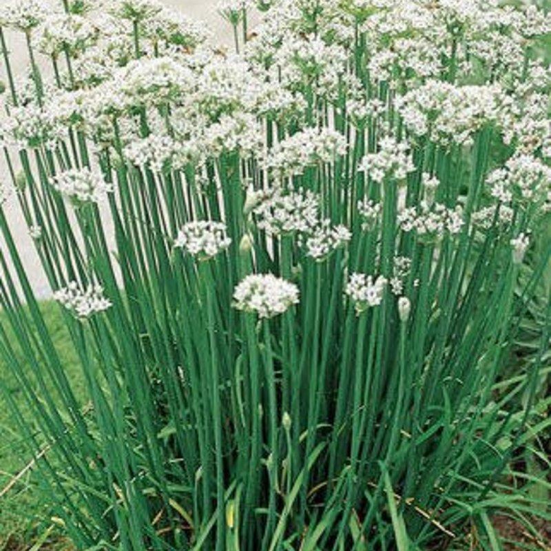 """Chives Garlic 4.5"""""""