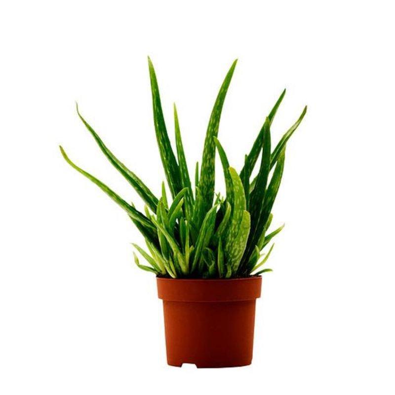 """Aloe Vera Clay 6"""""""