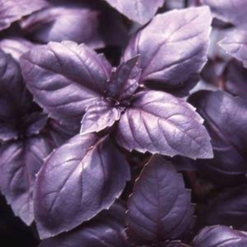 "Basil Red Rubin (Purple) 4"""