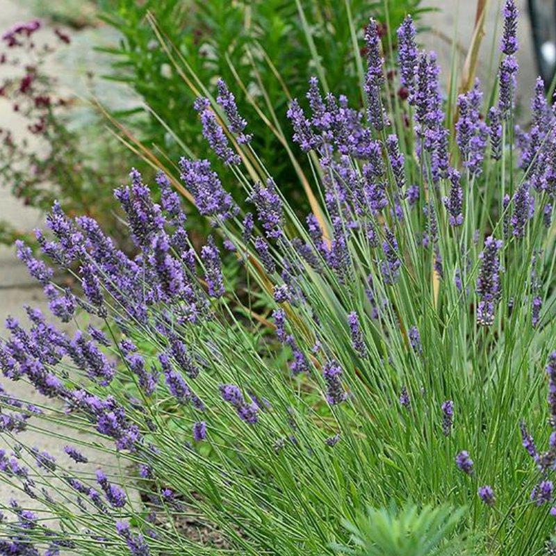 "Lavender Grosso 6"""