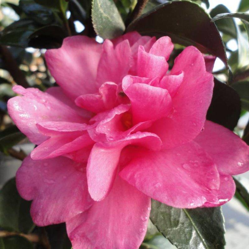Camellia s William Lanier Hunt 3