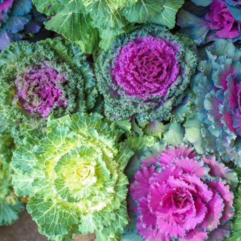 "Ornamental Kale & Cabbage 6"""
