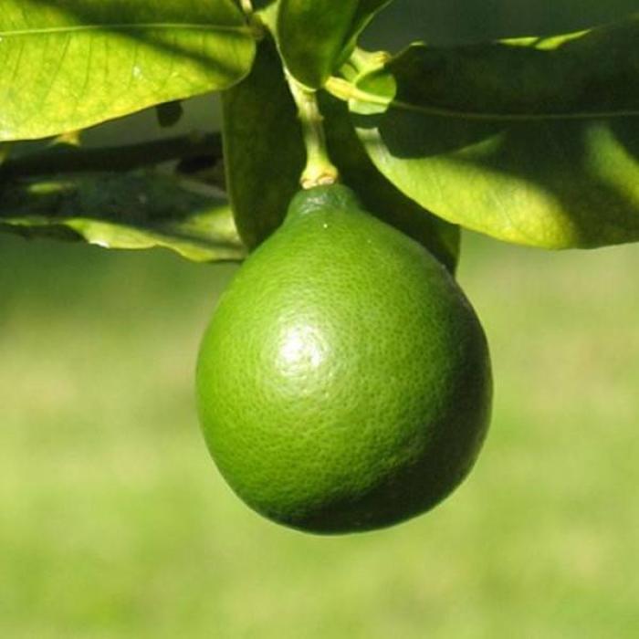 CItrus, Key Lime (Limequat) 3 Gal