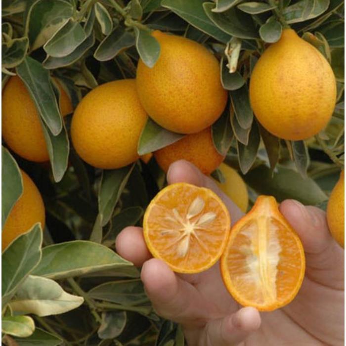 Citrus, Variegated Kumquat 1 Gal