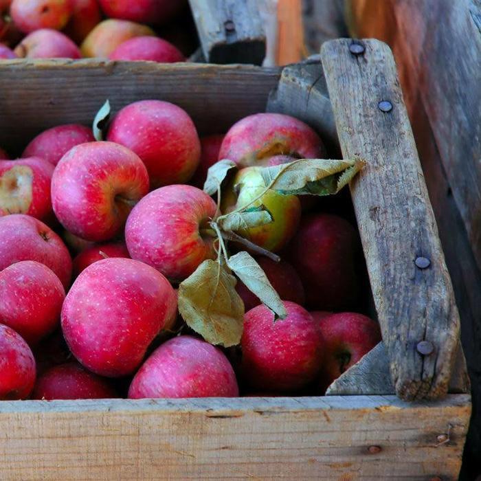 Apple, Stayman Semidwarf 7