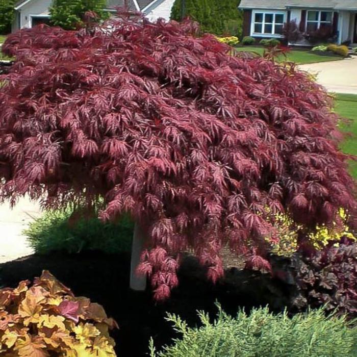 Acer palmatum Crimson Queen 3