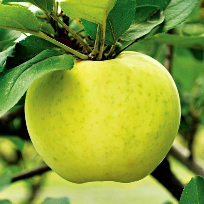 Apple, Lodi Semidwarf 7
