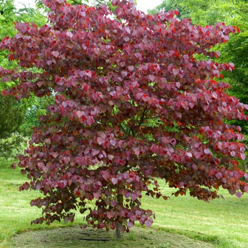 Cercis canadensis Forest Pansy Redbud 7