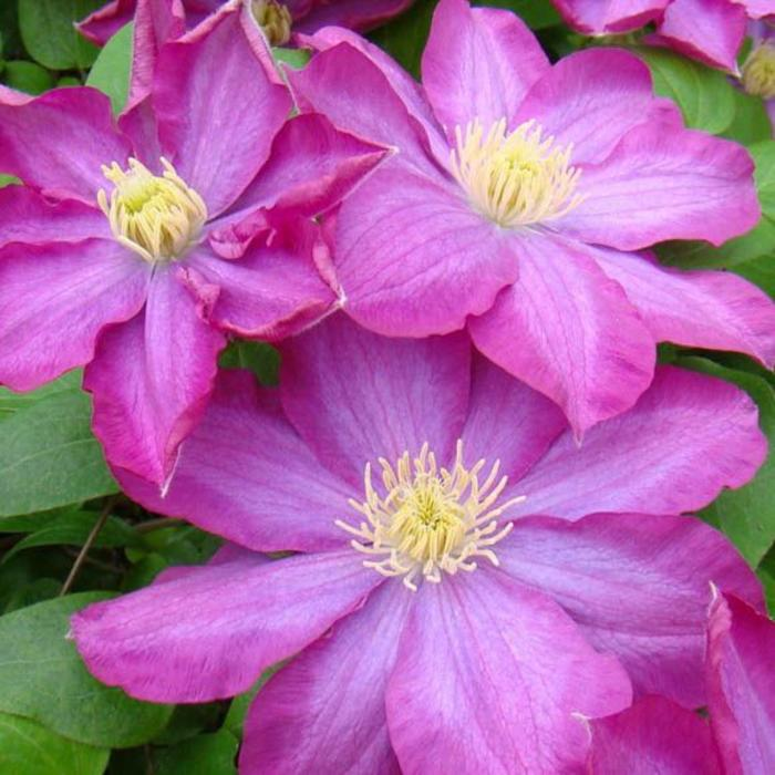 Clematis Pink Champagne 1