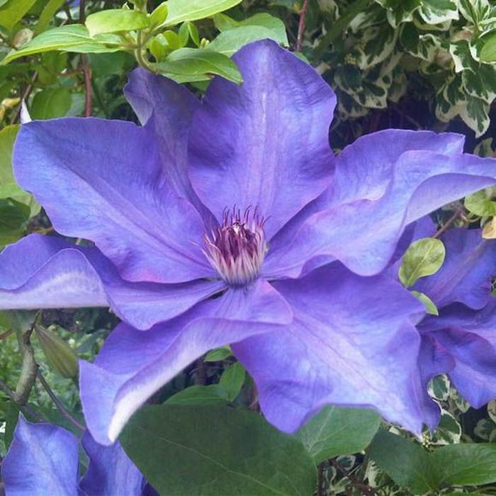 Clematis The President 1