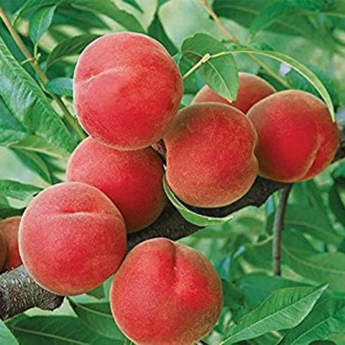 Yellow Peach, Contender 5