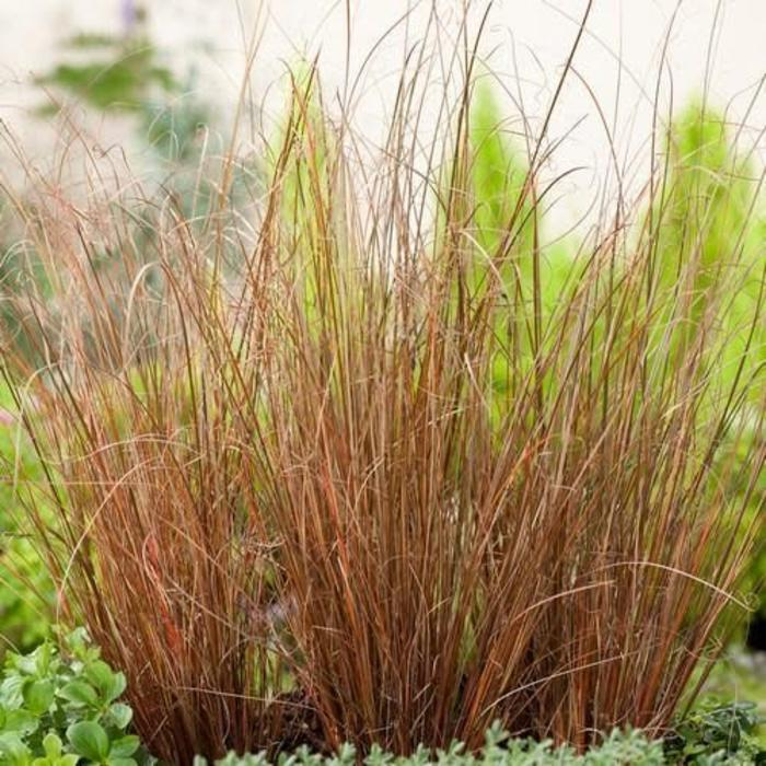 Carex Red Rooster 1