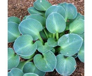 Hosta Blue Mouse Ears Qt Boulevard Flower Gardens