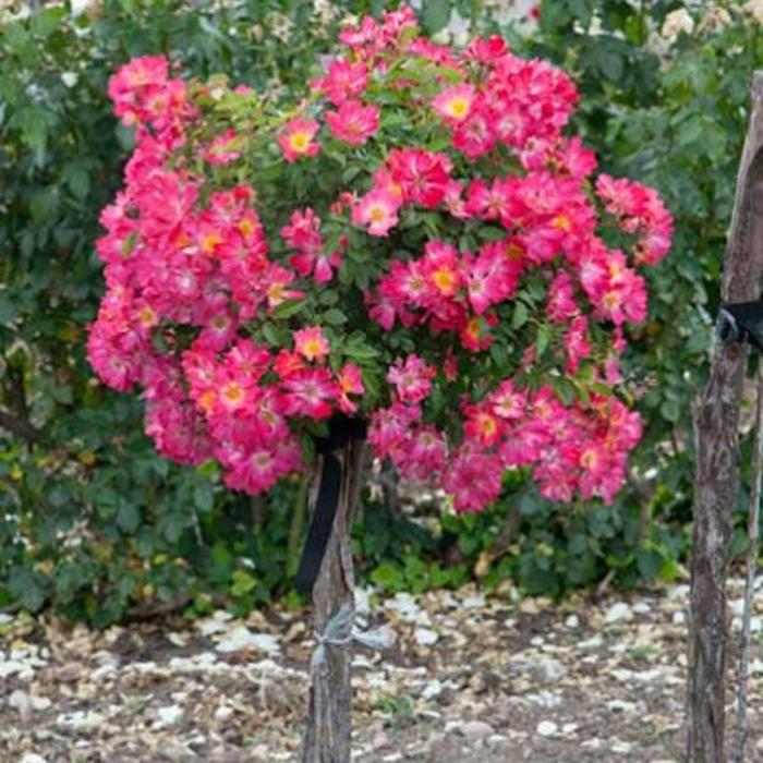 Rose Drift Pink Patio Tree 3