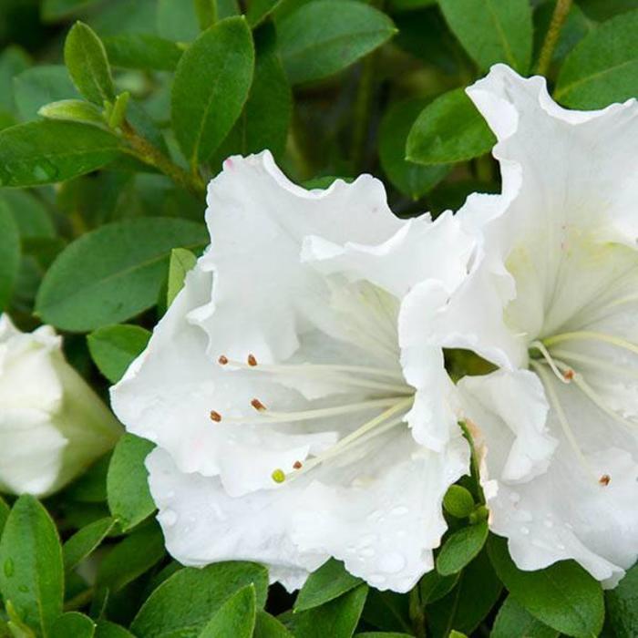 Azalea Gumpo White 3