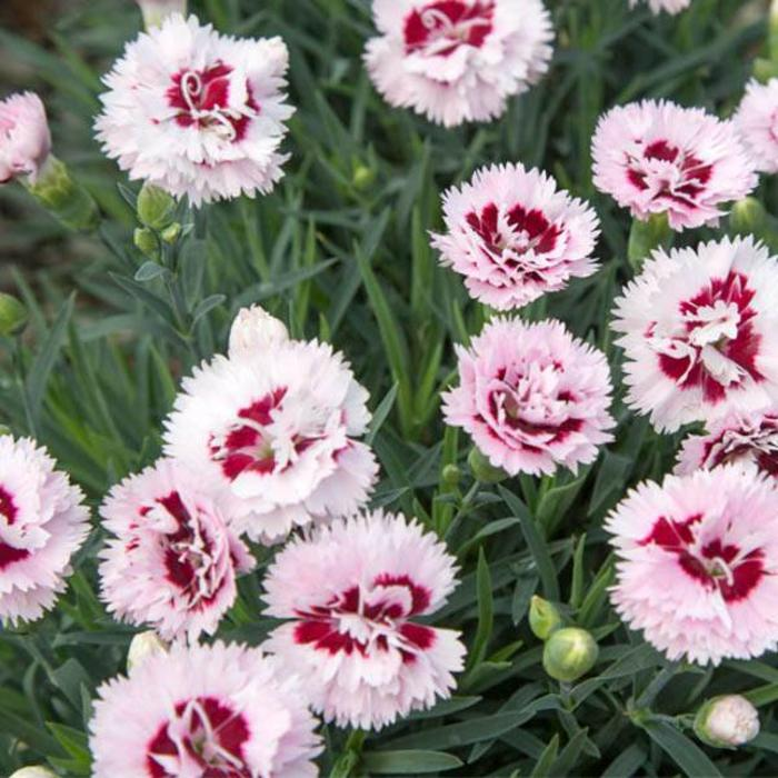 Picture of Live Carnation (pink) aka Dianthus 'Raspberry Surprise' PP Plant Fit 1 Gallon Pot