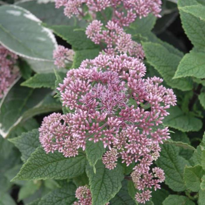 Eupatorium Little Joe 1