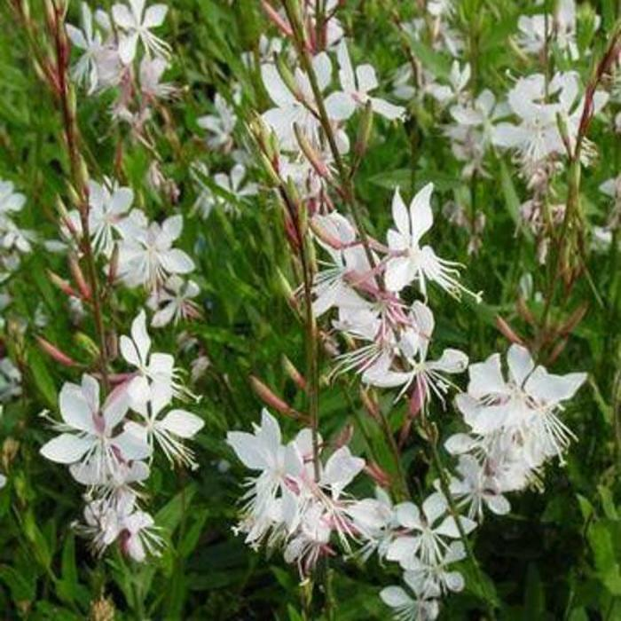 Gaura Whirling Butterflies 1