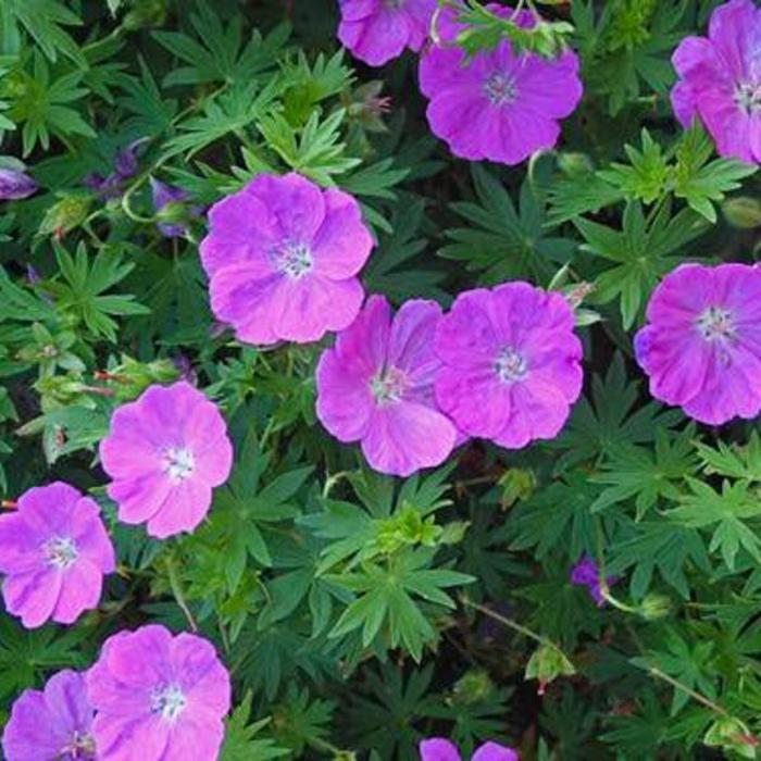Geranium New Hampshire Qt
