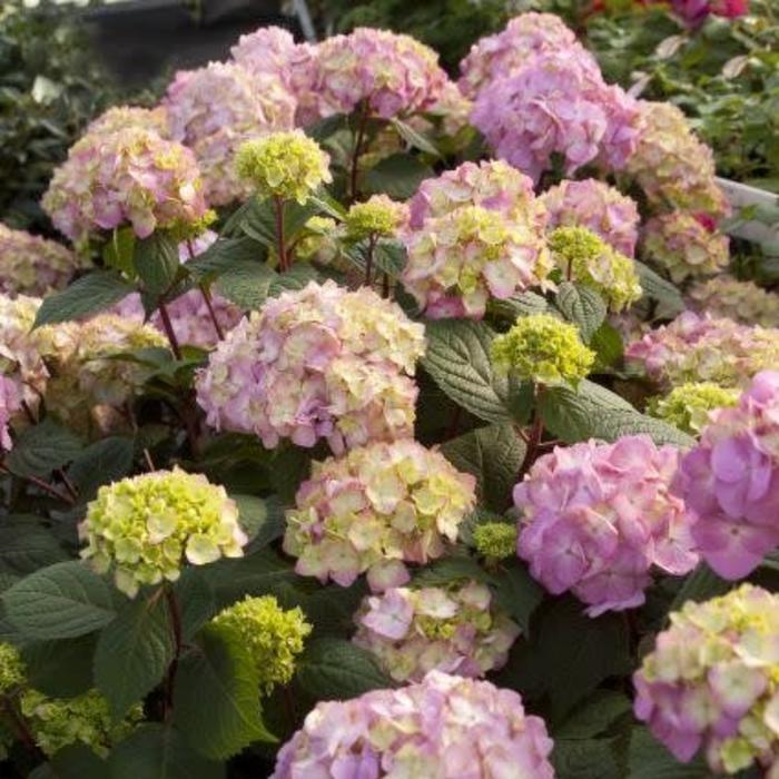 Hydrangea m. Bloomstruck 1