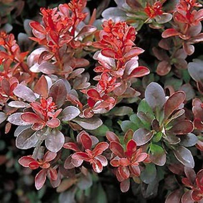 Berberis Crimson Pygmy 3