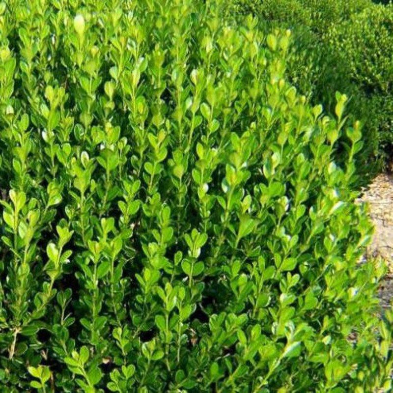 Buxus m Wintergreen Boxwood 3
