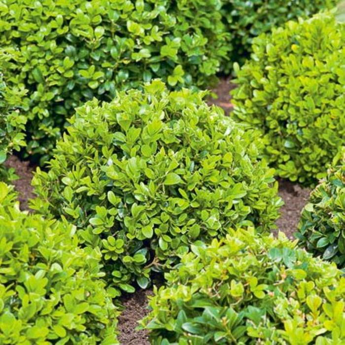 Buxus English 7