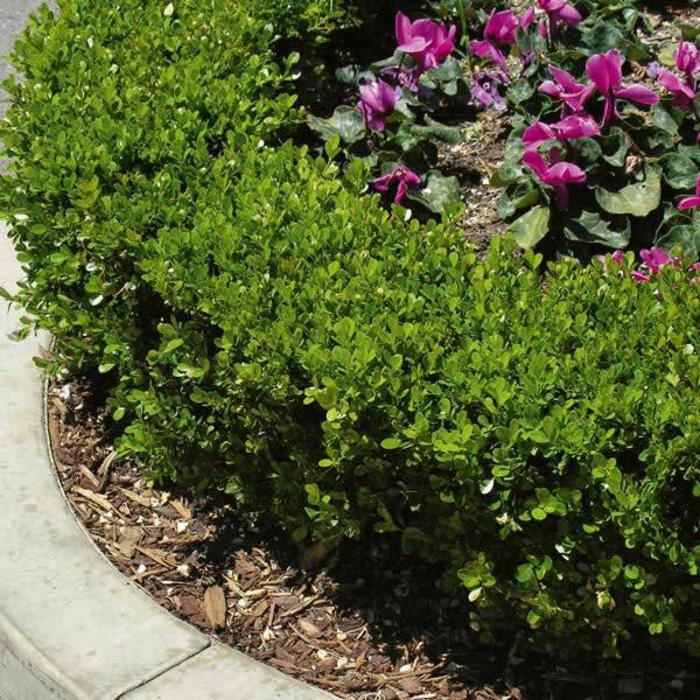 Picture of Live Green Beauty Boxwood aka Buxus j. 'Green Beauty' Shrubs Plant Fit 5 Gallon Pot