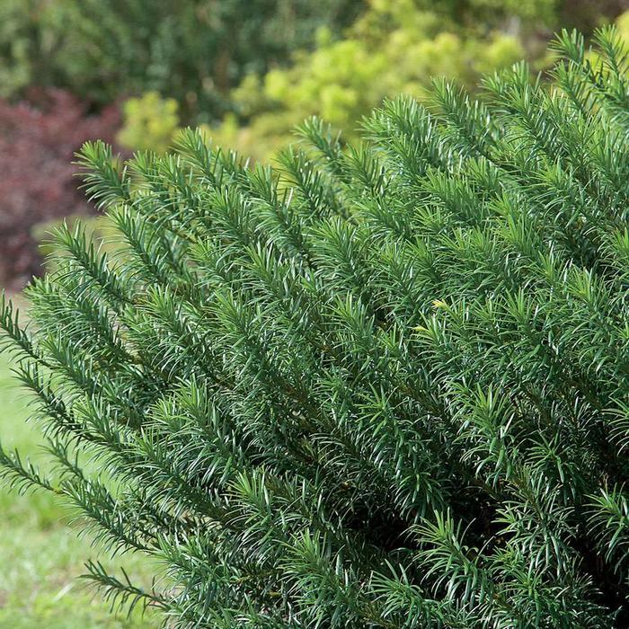 Cephalotaxus h Yewtopia 3