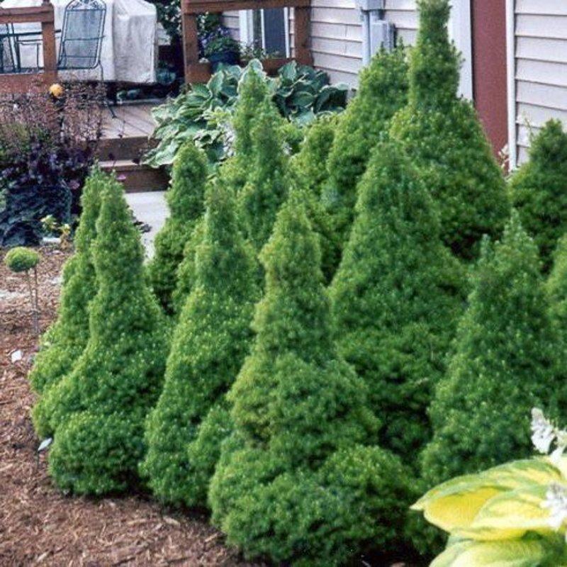 Picea g Conica Alberta Spruce 3
