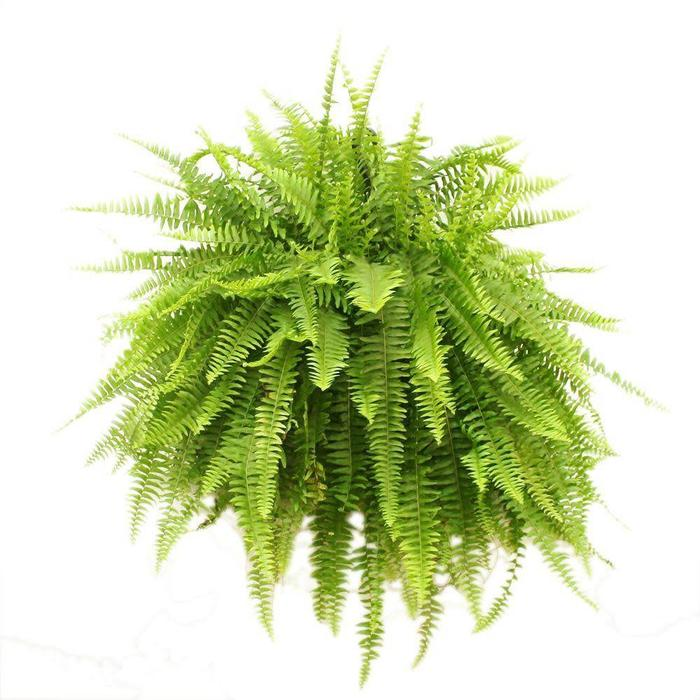 HB Boston Fern 10""