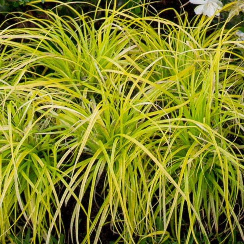 Carex Everillo 1