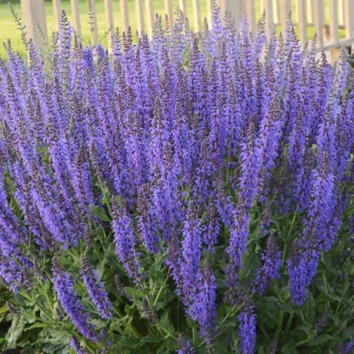 Salvia May Night 1