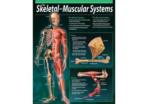 Creative Teaching Press The Skeletal and Muscular Systems Chart (D)*